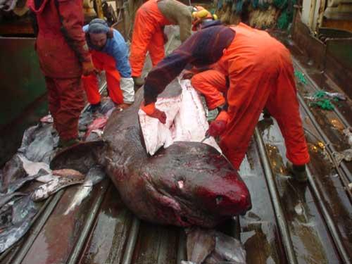 despiece de un tiburón de Groenlandia