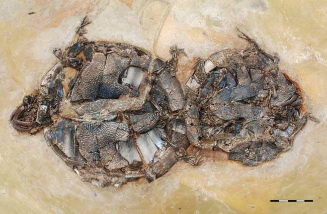 fósiles de tortugas copulando