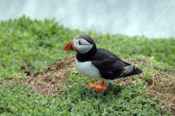 frailecillo en la isla de Skellig Michael, Irlanda