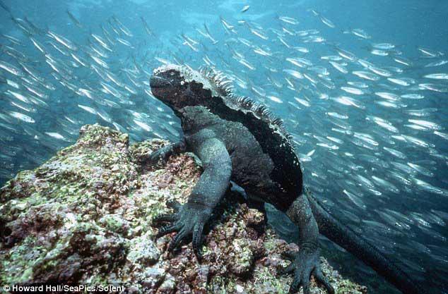 iguana marina bajo el agua en las Islas Galápagos