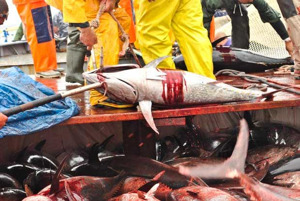 La Mattanza de atún rojo, Italia