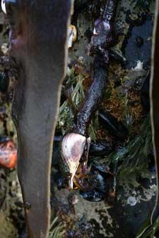 mejillón Mytilus edulis o M. galloprovicialis