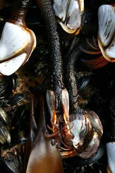mejillones exóticos en el muelle de Oregón