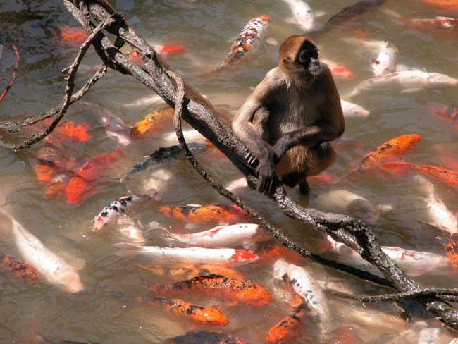 Un mono observa comer a las carpas en el zoo de Omaha