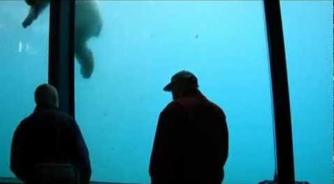 oso polar tira un piedra contra el cristal del Zoo
