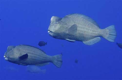peces loro jorobados gigantes (Bolbometopon muricatum)