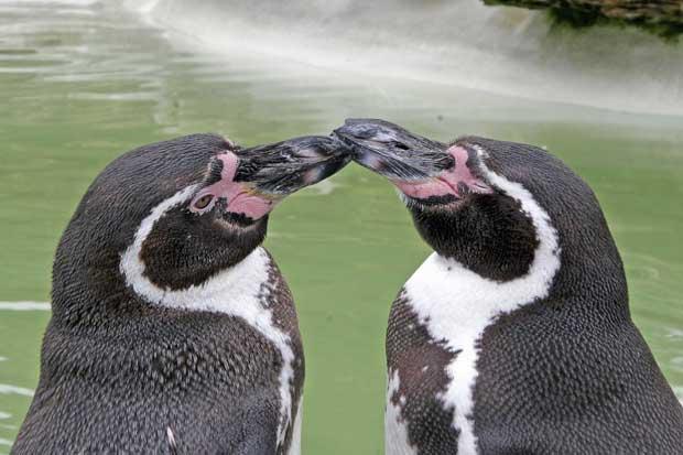 pareja gay de pingüinos de Humbolt (Spheniscus humboldti)