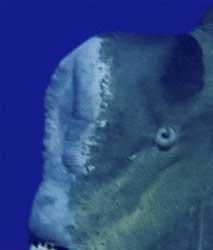 protuberancia de pez loro jorobado gigante (Bolbometopon muricatum)