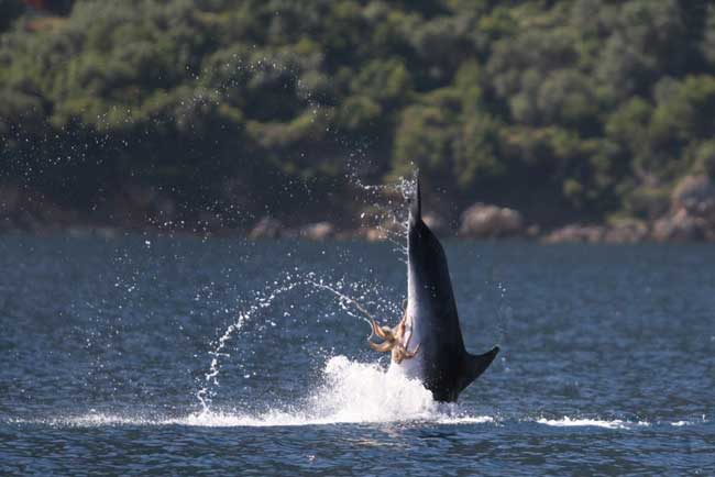 pulpo agarrado a los genitales de un delfín