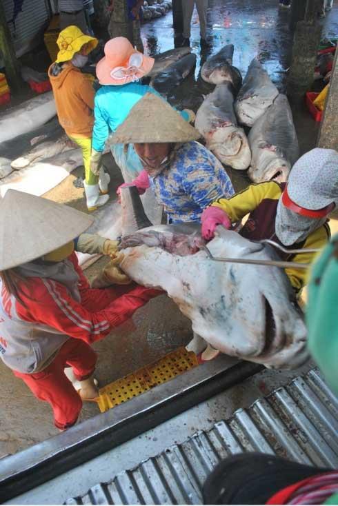 tiburón es cargado en un camión refrijerado
