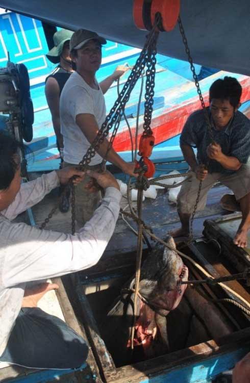 un tiburón es sacado de la bodega de un barco en Vietnam