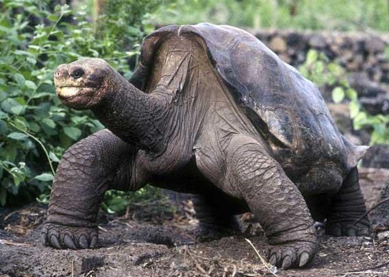 tortuga gigante George de las Islas Galápagos
