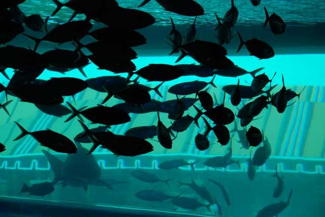 acuario del hotel Golden Nugget, Las Vegas