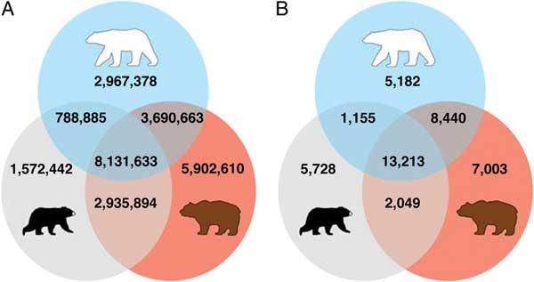 alelos compartidos de osos polares, pardos y negros