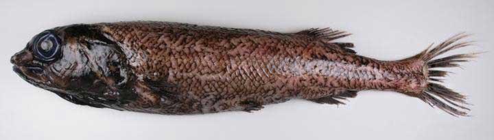 Alepocephalus sp