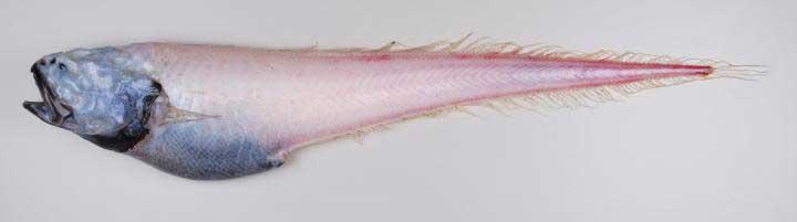 anguila no identificada