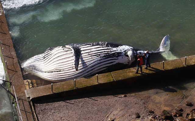 ballena varada en una piscina de Sydney, Australia