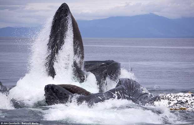 ballenas jorobadas pescan con redes de burbujas en Frederick Sound