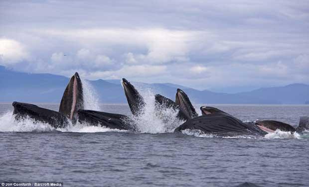 ballenas jorobadas pescan con redes de burbujas en el Pacífico Norte