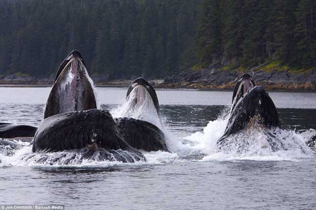 ballenas jorobadas pescan con redes de burbujas