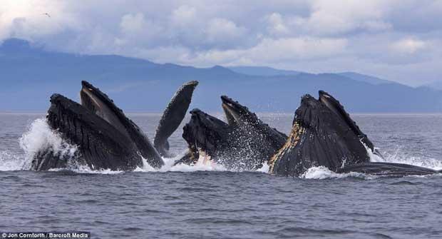 ballenas jorobadas pescan con redes de burbujas cerca de Alaska
