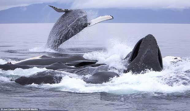 ballenas jorobadas pescan con redes de burbujas para alimentarse