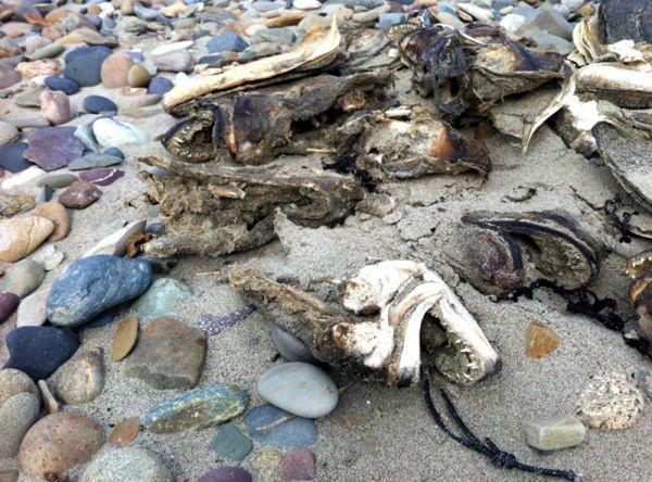 cabeza de pez lobo (Hopilas malabaricus) encontrada en Canadá