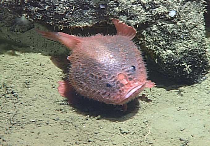 Chaunacops coloratus