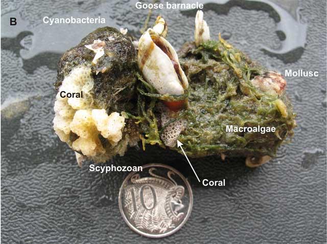 colonización de piedra pómez por organismos marinos