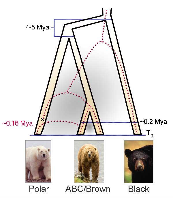 comparacioón separación genética de los osos