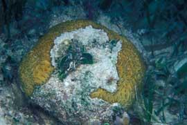 coral parcialmente blanqueado