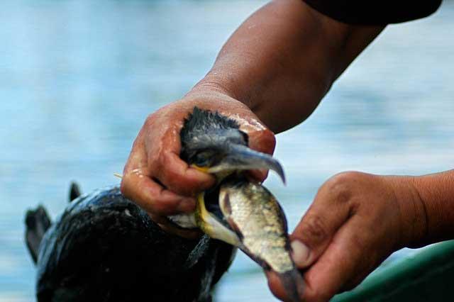 cormorán regurgita pescado