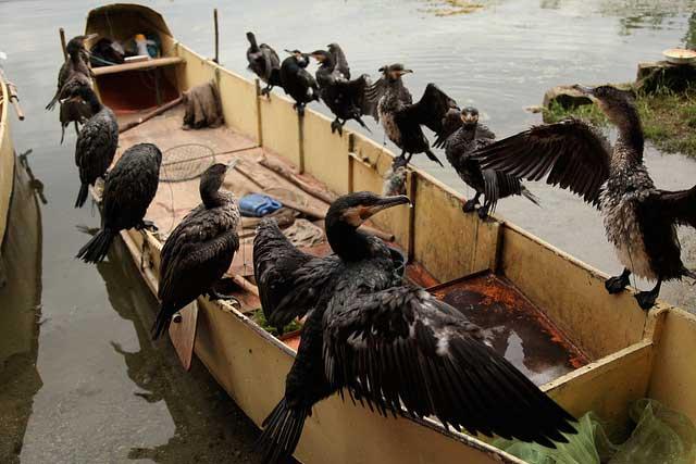 cormoranes para pesca