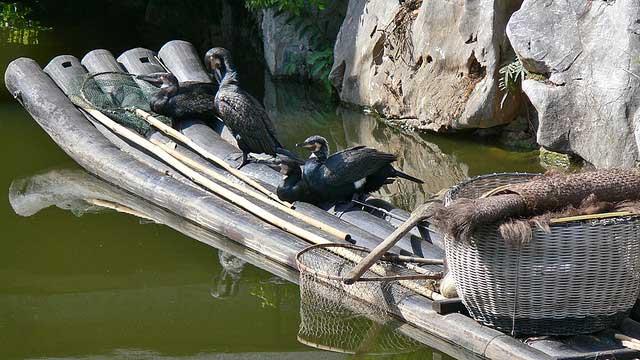 cormoranes para pescar