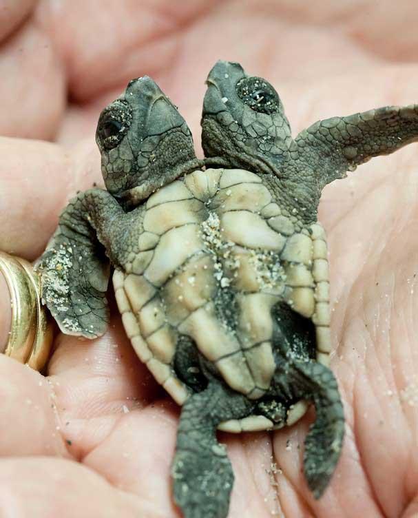 cría de tortuga boba de dos cabezas