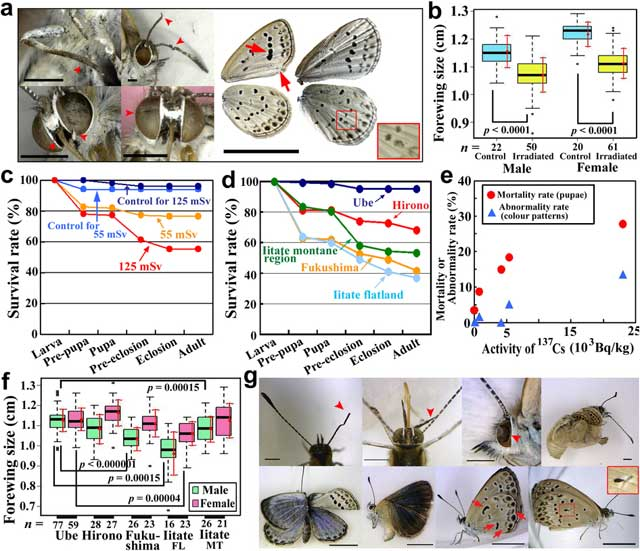daños observados en mariposas mutantes por radiación de Fukushima