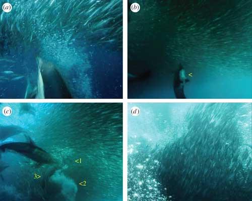 delfines cazan con redes de burbujas