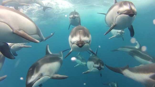 delfines de flanco blanco del Pacífico, video viral GoPro