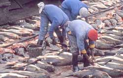 despiece de focas en Namibia