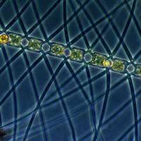 diatomea Chaetoceros atlanticus
