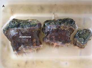 distribución de epibiontes en la piedra pómez