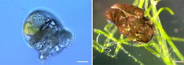 Babosa marina Elysia chlorotica