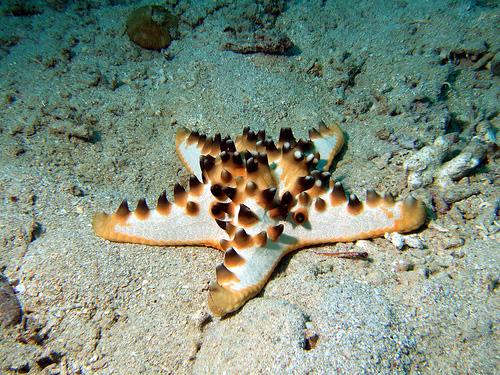 estrella de mar chocolate (Protoreaster nodosus)