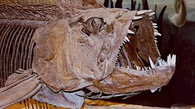 fósil de Xiphactinus