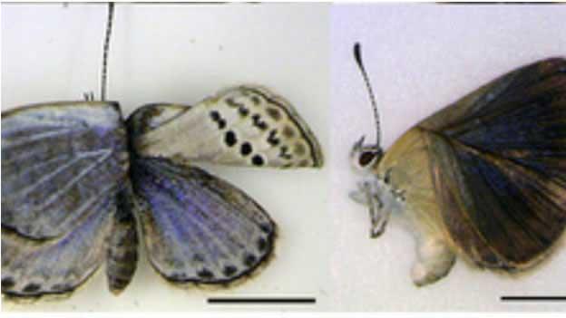 mariposas mutantes por la radiación de Fukushima