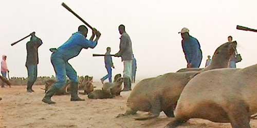 matanza de focas en Namibia