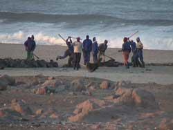matanza de focas en una playa de Namibia