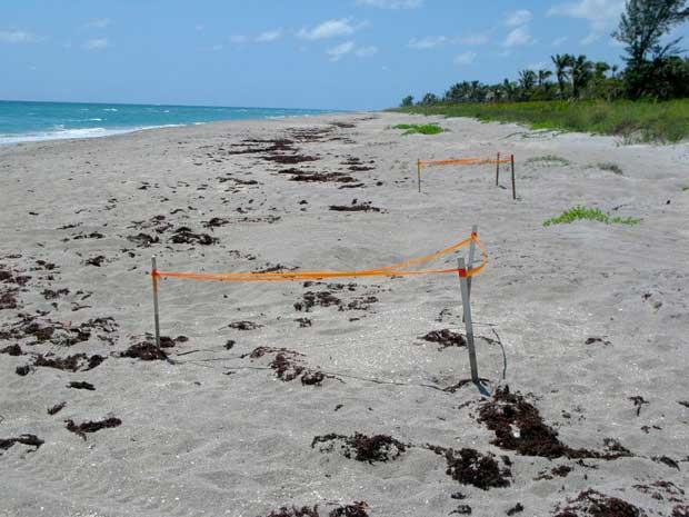 nidos de tortuga en Jupiter Island, Florida