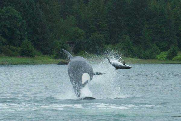 orca caza un marsopa