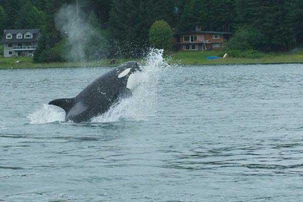 orcas cazan una marsopa, en Juneau - Alaska